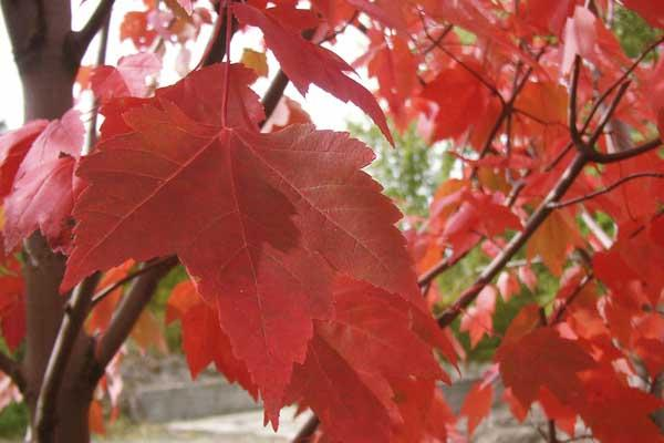 Maple Red Sunset®, Red Maple 15 Gallon