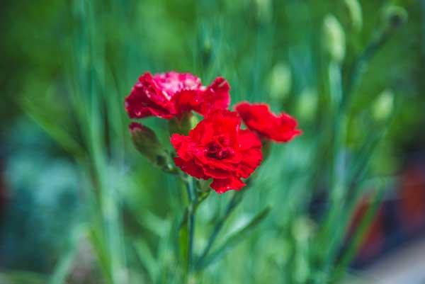 Carnation 'Can Can Scarlet' Quart