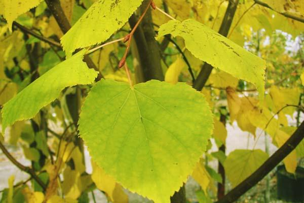 Linden Tree Greenspire™ 10 Gallon