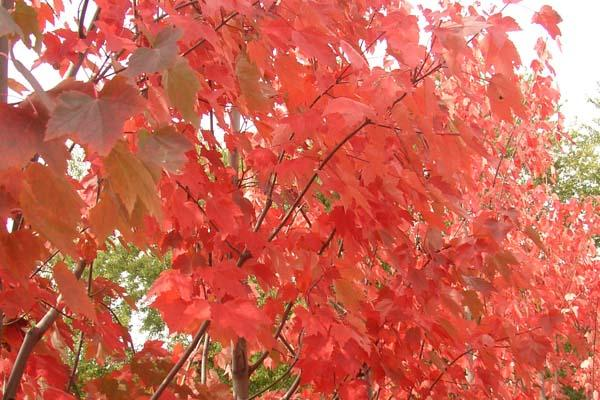 Maple Red Sunset®, Red Maple 7 Gallon