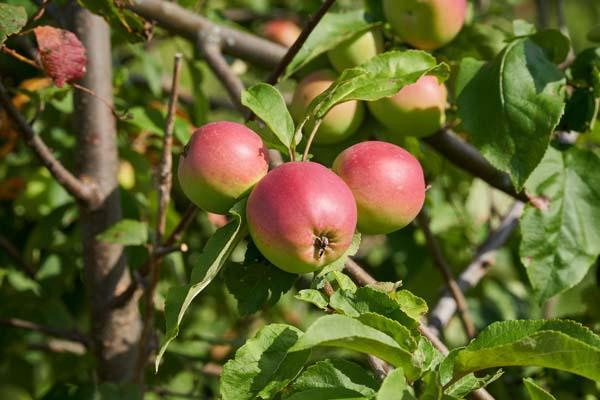 Apple Tree 'Fuji' 7 GALLON