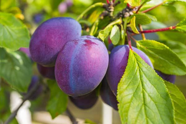 Plum Tree 'Italian Prune' 7 Gallon