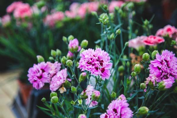 Dianthus Early Bird™ 'Fizzy' 1 Gallon