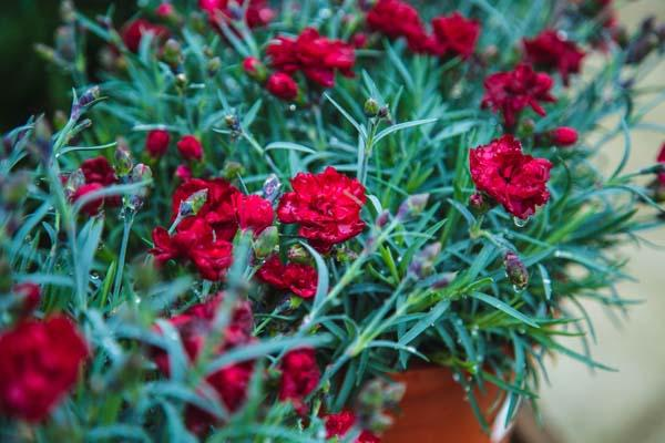 Dianthus Early Bird™ 'Radiance' 1 Gallon